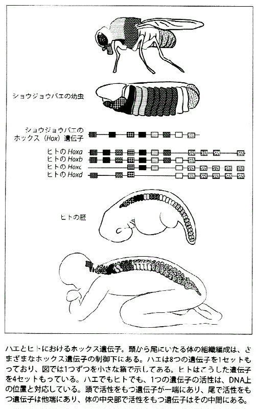 遺伝子 ホメオ ティック