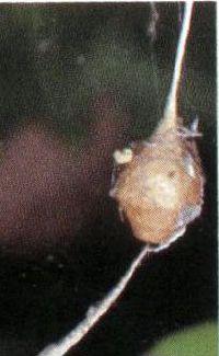 卵のうクモ検定解説